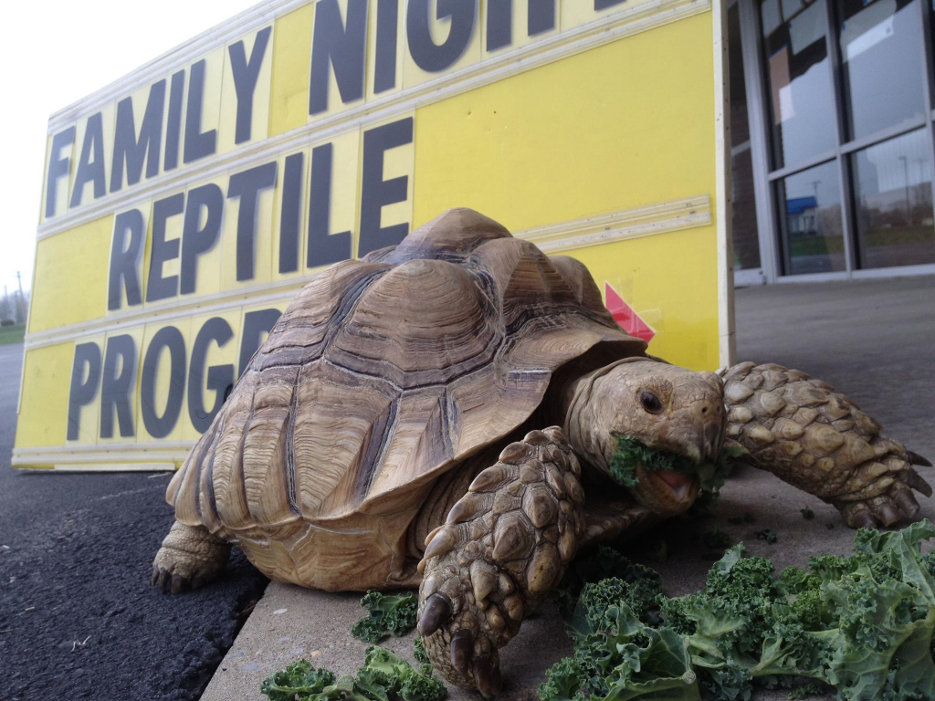 African Tortoise munching Dove Westgate Family Night