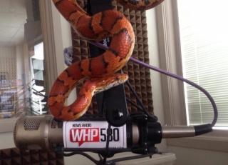 Jesse Rothacker corn snake WHP 580 Forgotten Friend Reptile Sanctuary