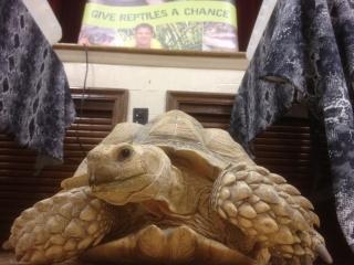 African sulcata tortoise Forgotten Friend Reptile Sanctuary